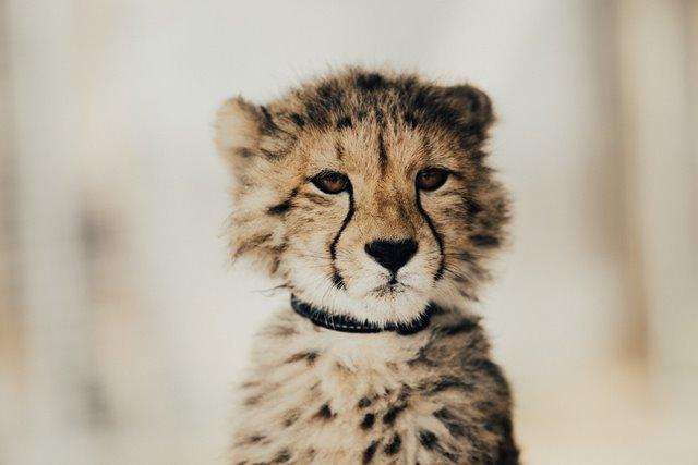 krytyk wewnetrzny jak sceptyczny gepard